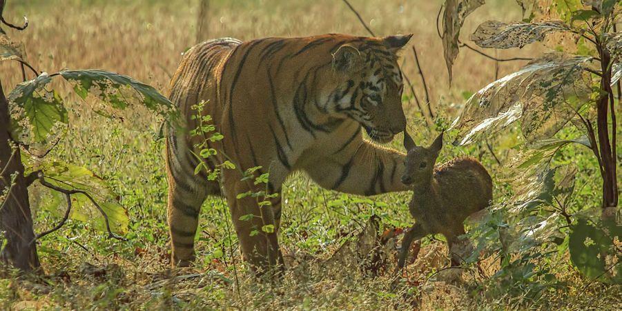 L'étrange amitié d'un tigre et d'un faon