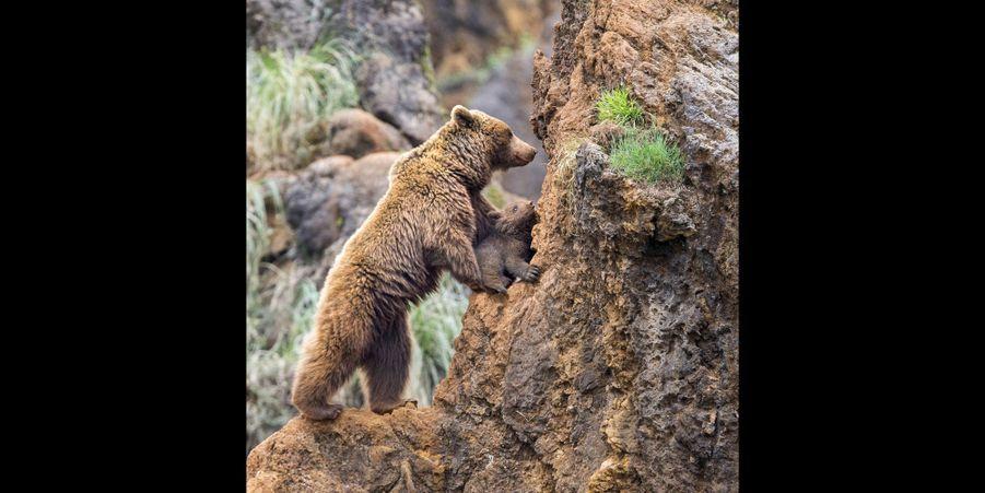 Le petit ours brun apprend à grimper avec sa mère