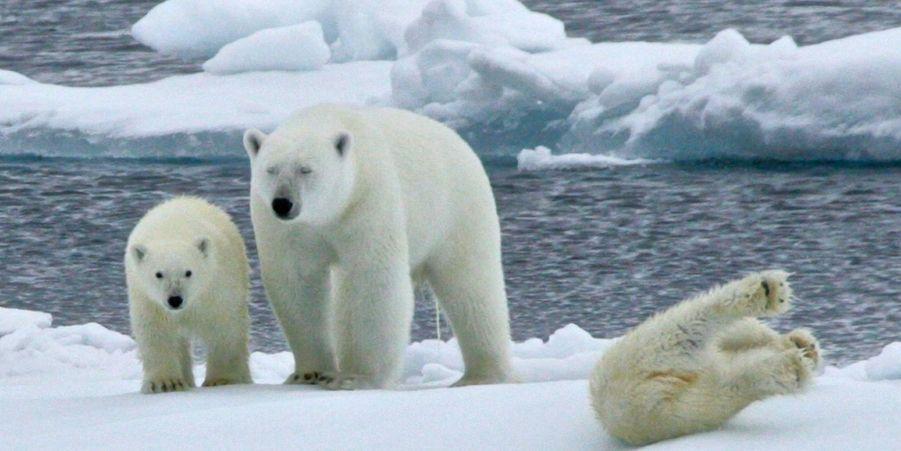 L'ourson polaire perd l'équilibre sur la banquise