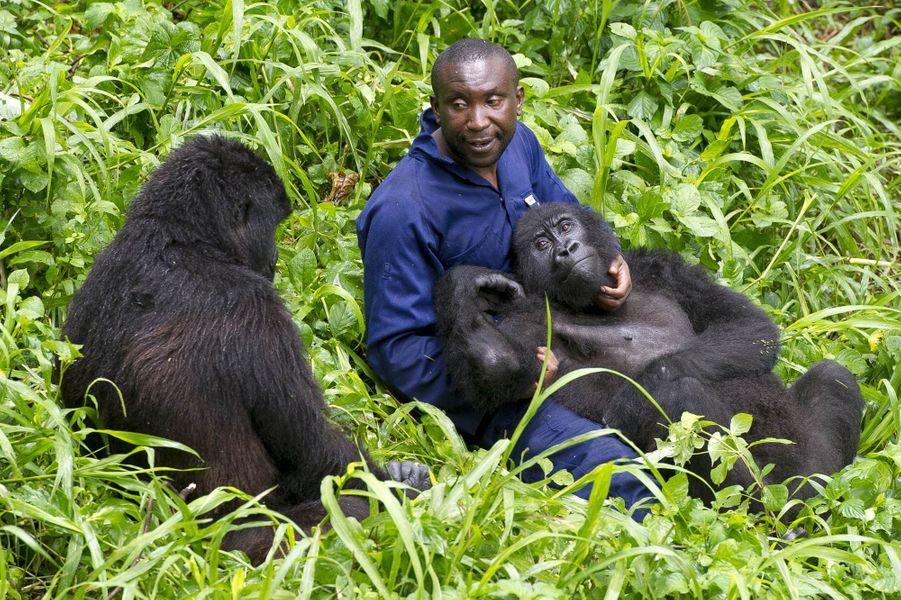 La belle complicité des gorilles et leurs gardiens dans le parc national des Virunga