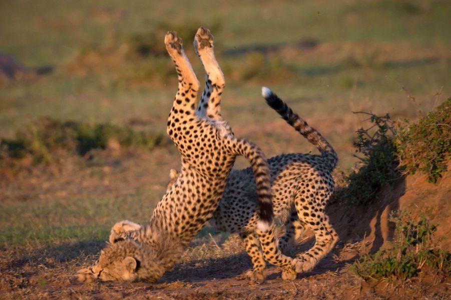 La chute du petit guépard au sein de la réserve du Masai Mara, au Kenya