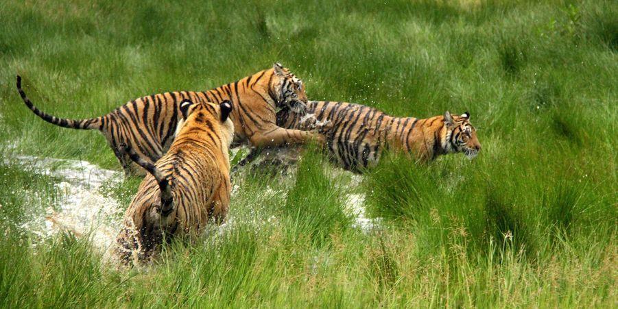 La course mouillée du tigre, en Afrique du Sud