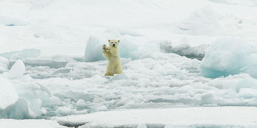 L'ours polaire danse sur la banquise