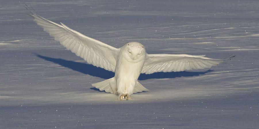 La danse du harfang des neiges