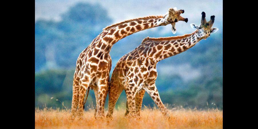 La danse des girafes