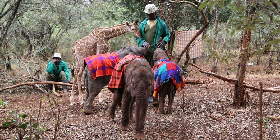 La girafe et l'éléphanteau orphelins sont inséparables