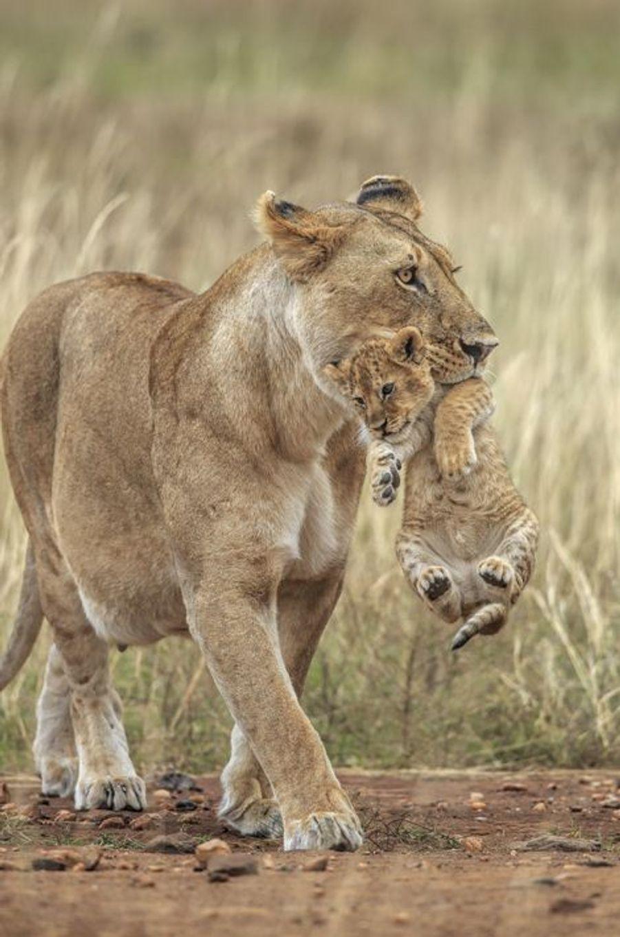 La lionne récupère son petit fugueur au sein du Masai Mara, au Kenya