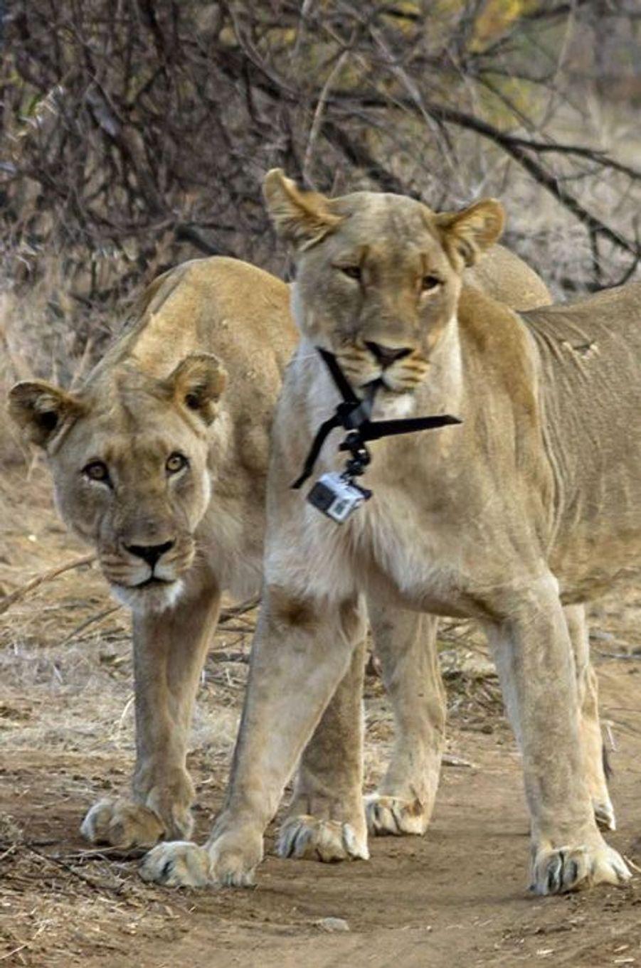 La lionne vole une GoPro, en Afrique du Sud