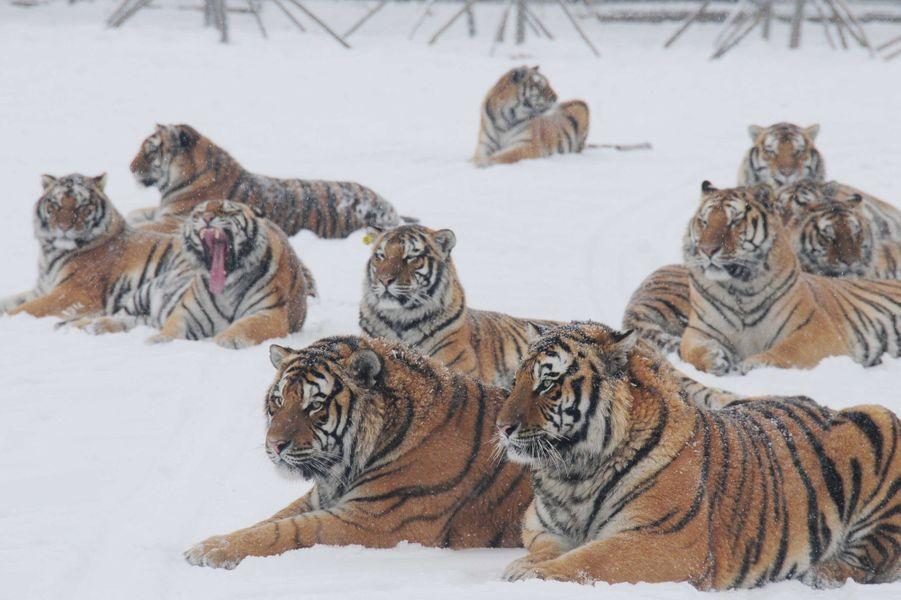 Favorit majesté des tigres de Sibérie BX16