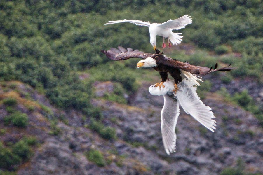 La mouette tente de sauver sa congénère d'un aigle