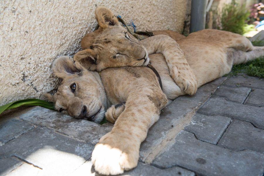 La nouvelle vie de Mona et Alex, les lionceaux de Gaza, dans un sanctuaire en Jordanie