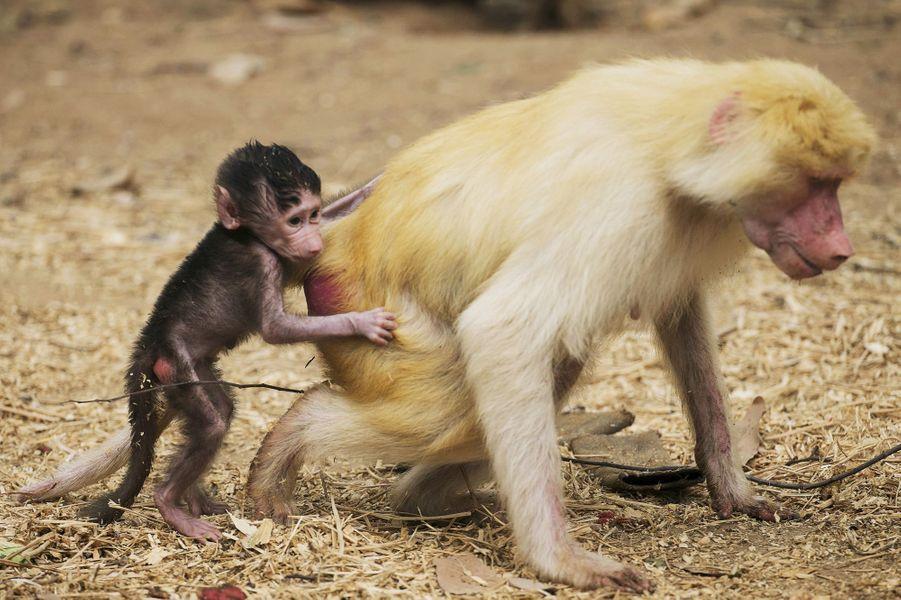 La petite babouine ne quitte pas sa mère