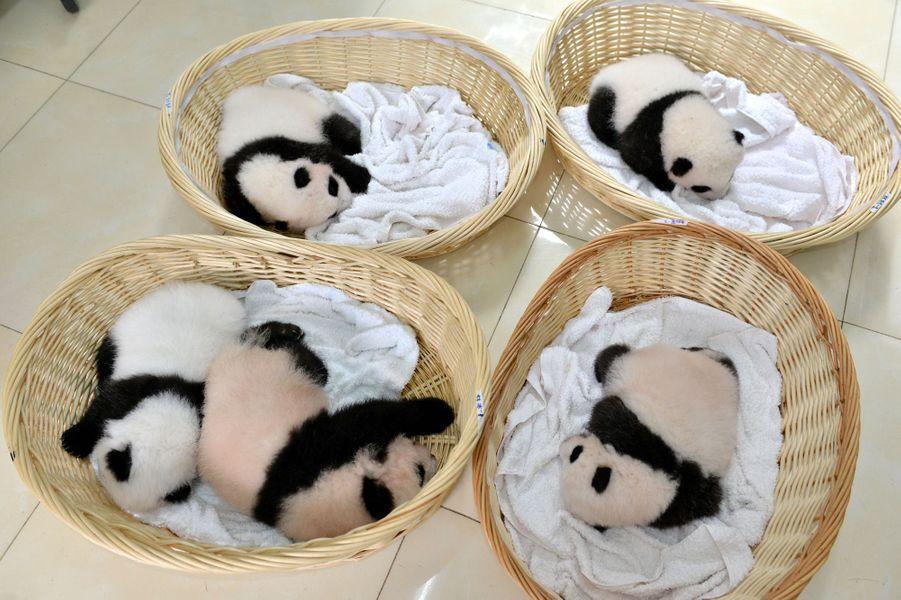Le centre de Bifengxia présente ses nouveau-nés
