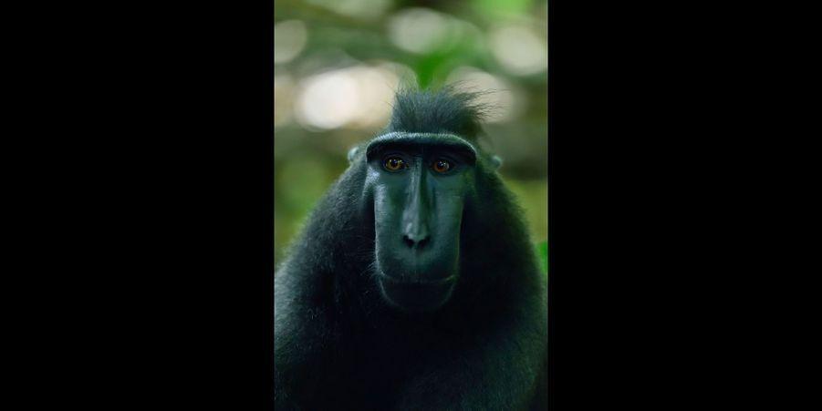 Le cri du macaque indonésien