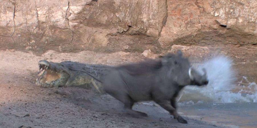 Le crocodile malchanceux rate deux proies