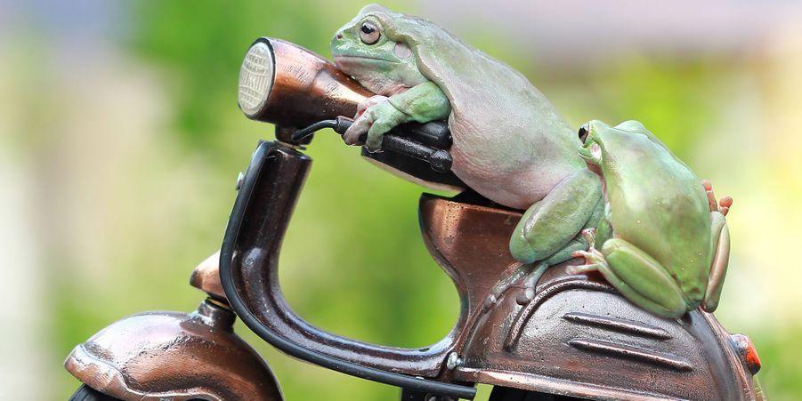 Le deux-roues des grenouilles