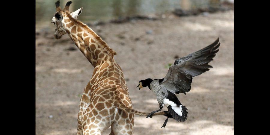 Le girafon effrayé par un palmipède