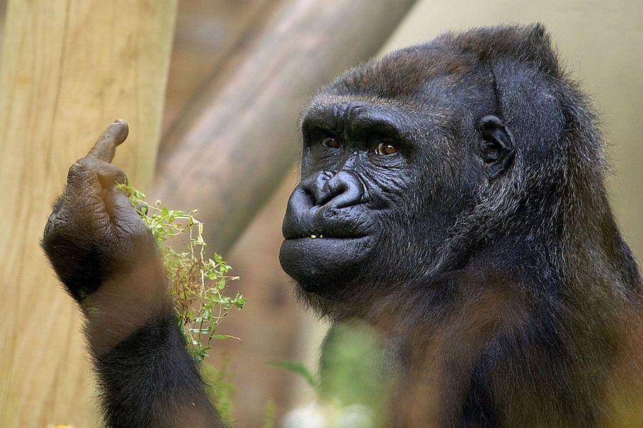 Le gorille est de mauvaise humeur… et le fait savoir