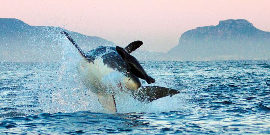 Le grand requin blanc a été berné par un faux phoque