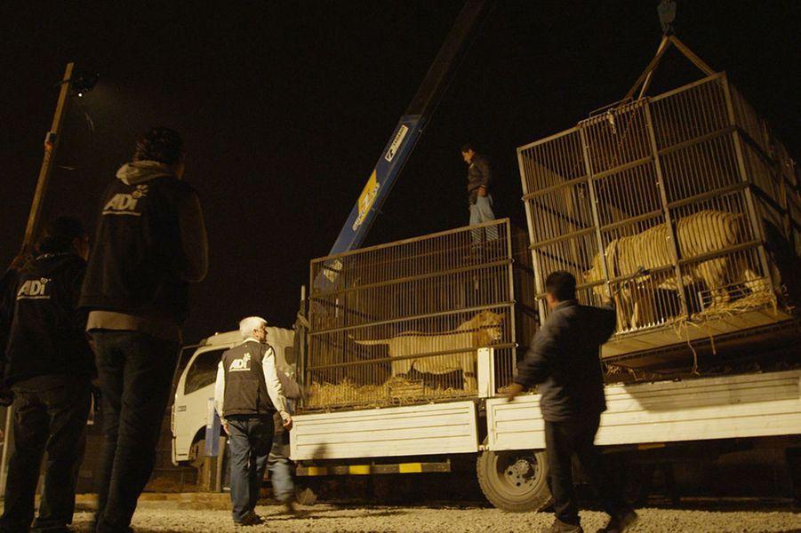 Les 33 lions sauvés dans des cirques au Pérou et en Colombie seront envoyés vers un sanctuaire en Afrique du Sud.