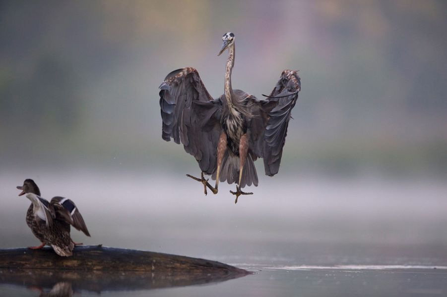 Le héron fait fuir le canard