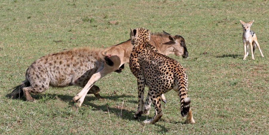 Le gnou échappe à quatre prédateurs