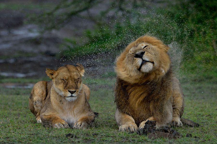Le lion se débarrasse de la pluie... sans égard pour la lionne