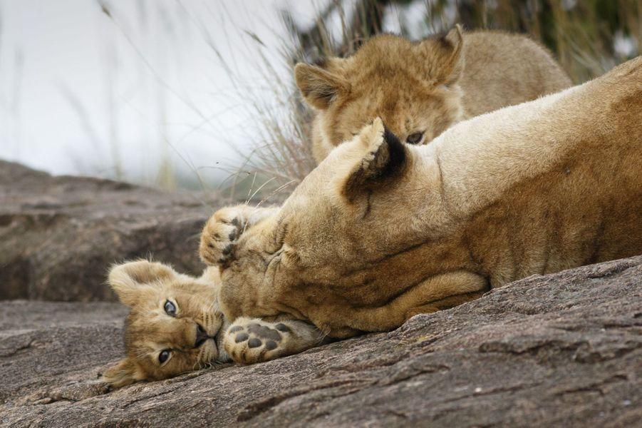 Le lionceau joueur est câliné par sa mère
