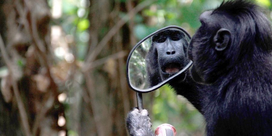 Le macaque découvre son reflet dans un rétroviseur, en Indonésie