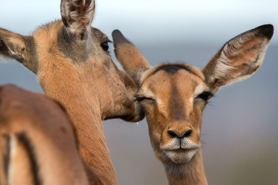 Le murmure des impalas, en Afrique du Sud