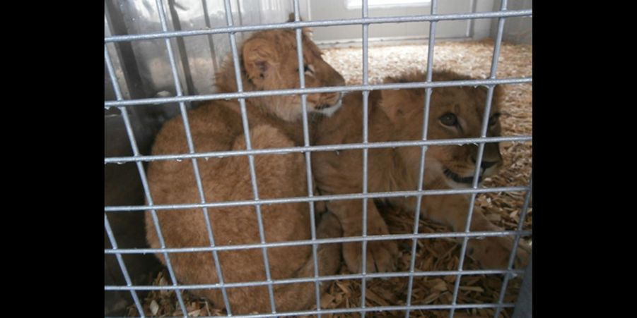 Le mystère des lionceaux abandonnés au Parc des Félins