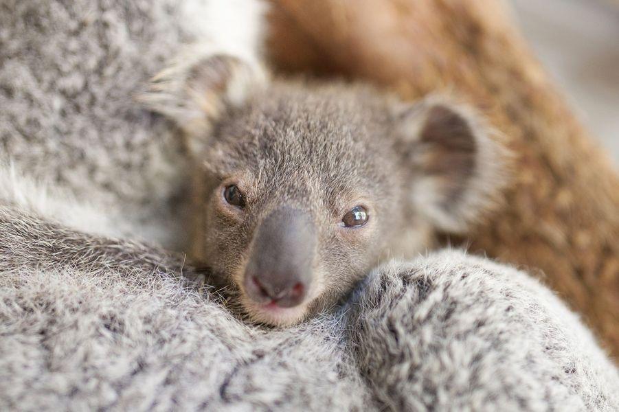 Le petit koala n'a pas peur pour son gros plan