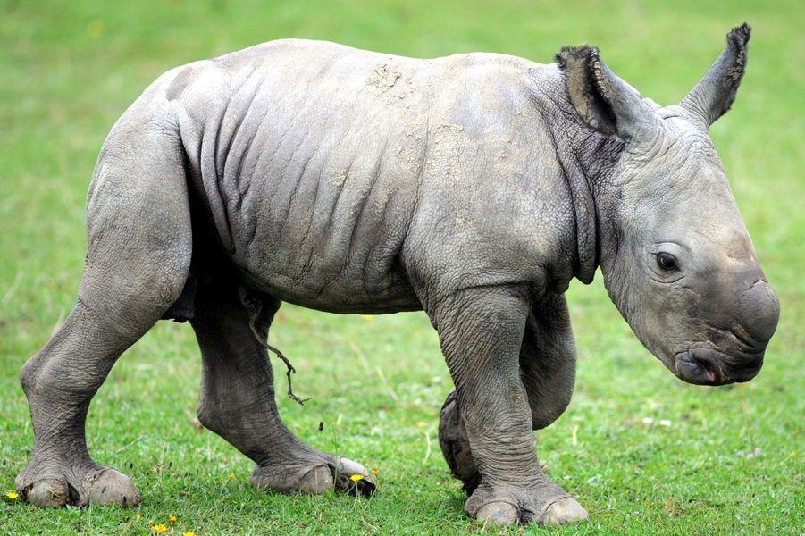 Le petit rhino ne quitte pas sa mère
