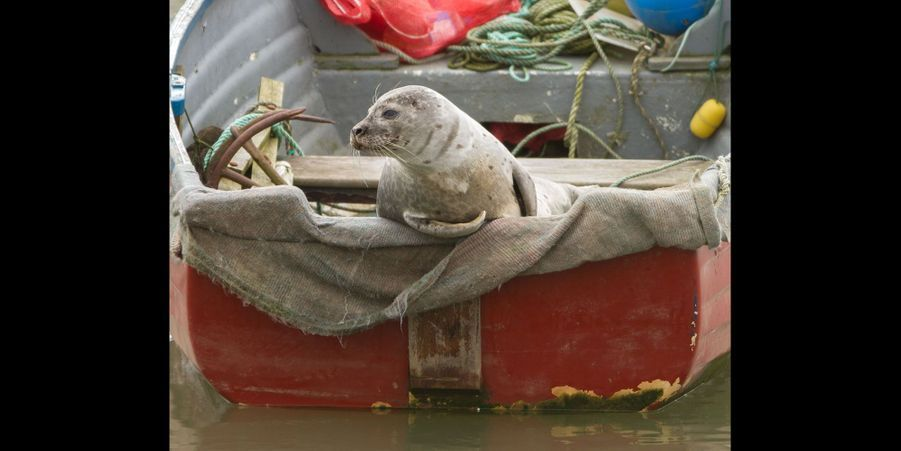 Ce phoque s'est posé sur un bateau de pêcheur