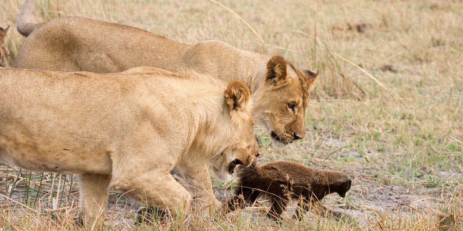 Huit lions ont essayé de manger un ratel