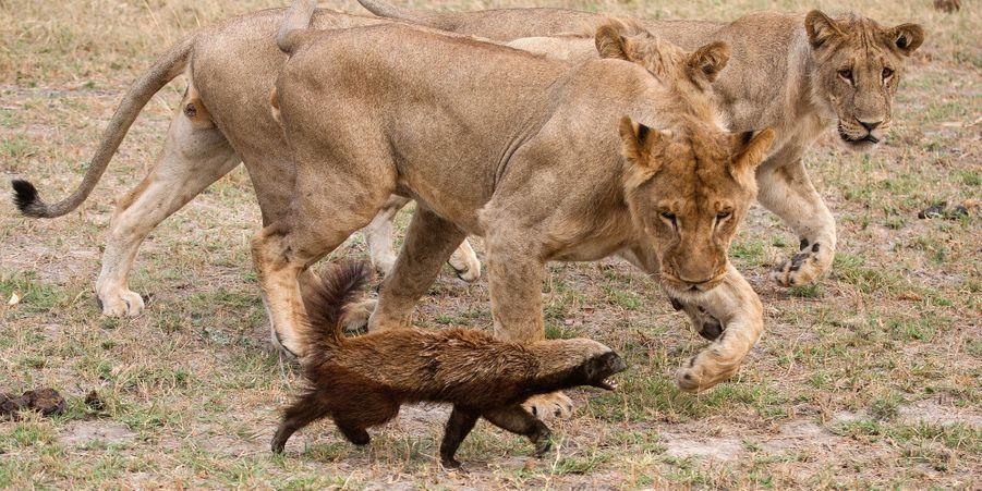 Un ratel a réussi à battre huit lions contre toute attente
