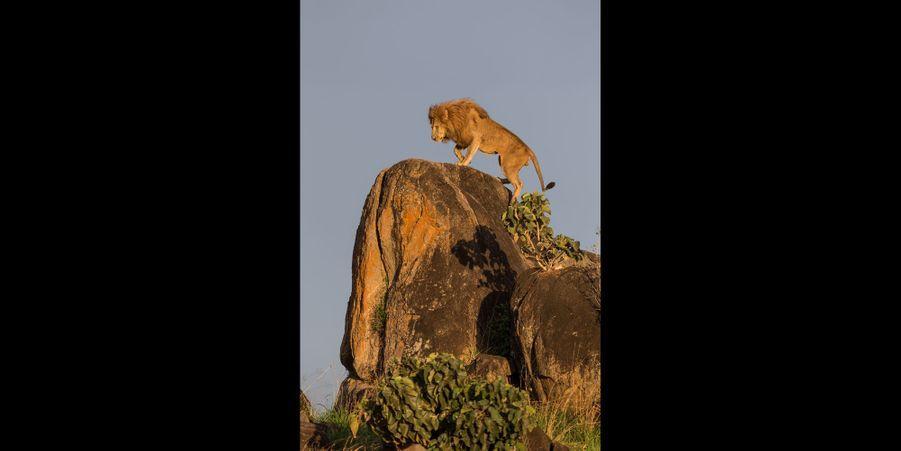 Le roi lion surveille son territoire en Ouganda