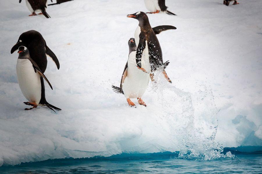 Le saut des manchots sur une banquise de l'île de Danco, en Antarctique