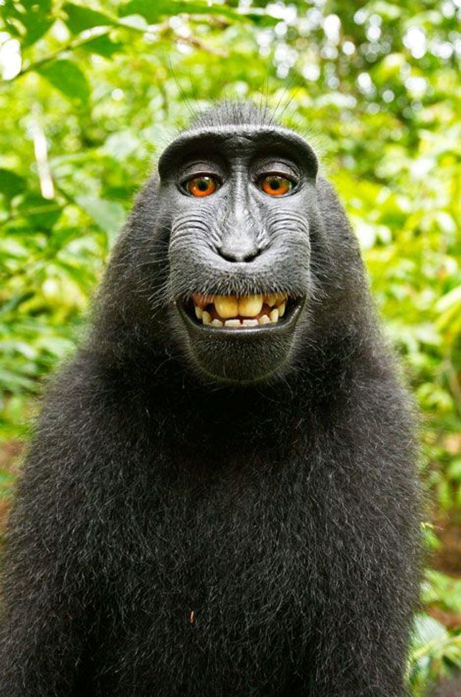 Naruto le singe n'a pas de droits sur ses selfies