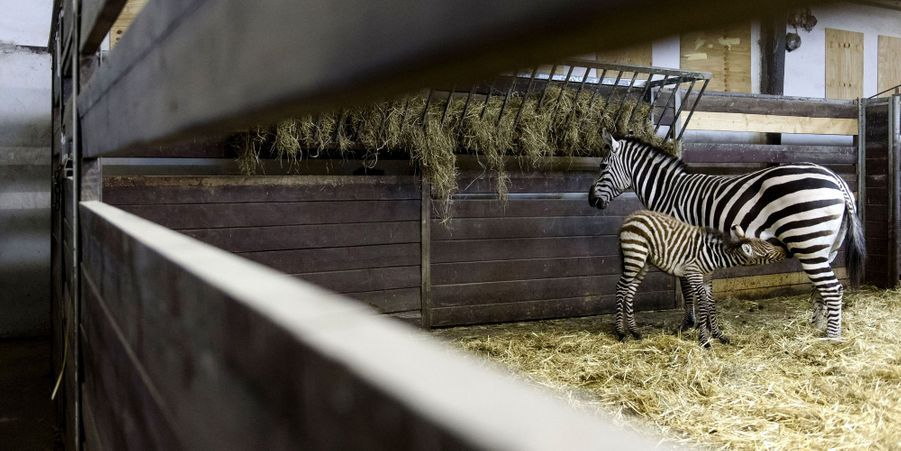 Dasha le zébreau, premier né de l'année au zoo de Dvur Kralove, en République tchèque