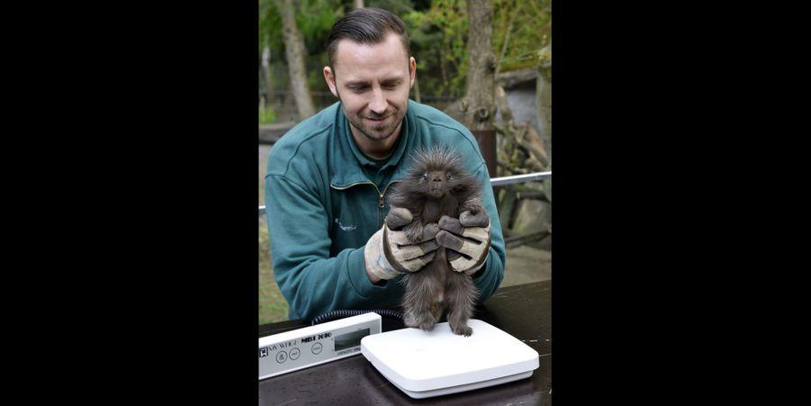 Ce petit porc-épic est né au zoo de Hambourg