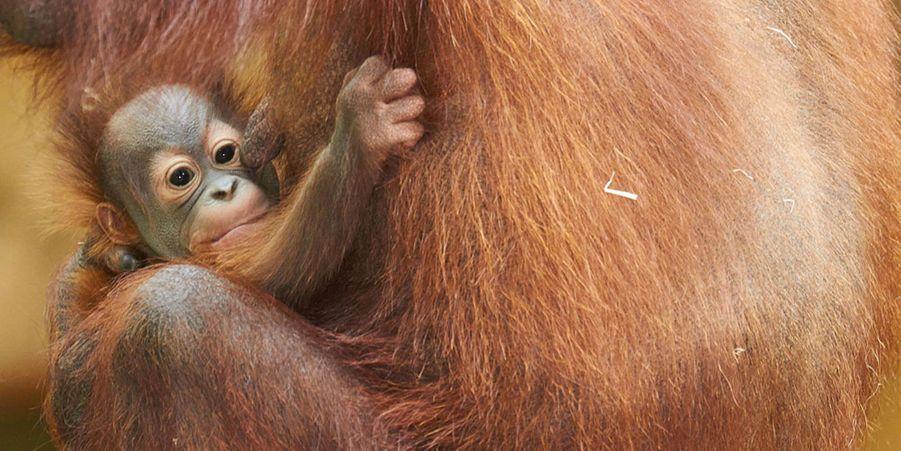 Le zoo de la Palmyre accueille deux orangs-outans