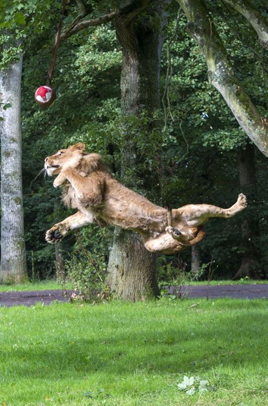Les acrobaties du lion joueur de rugby
