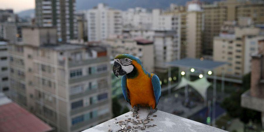 Les aras rouges de Caracas