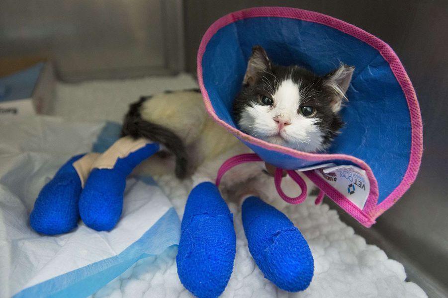 Les chats blessés dans les feux en Californie sont pris en charge