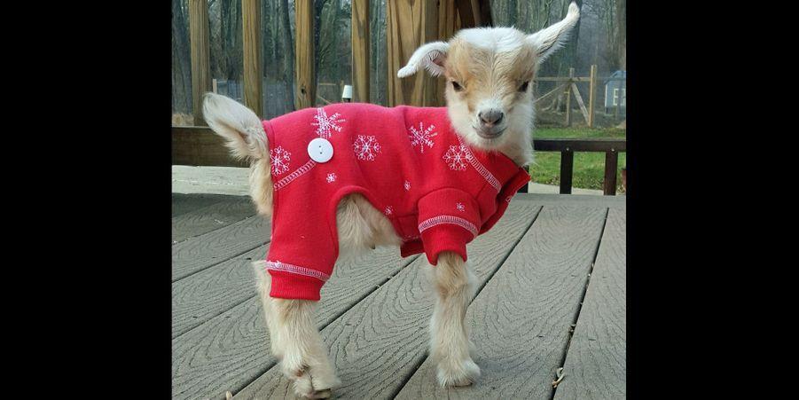@GoatsOfAnarchy, les chèvres les plus craquantes d'Instagram