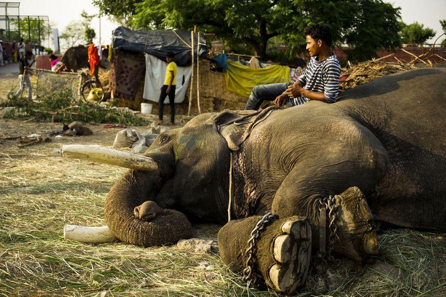 Le quotidien atroce des éléphants travailleurs de New Delhi
