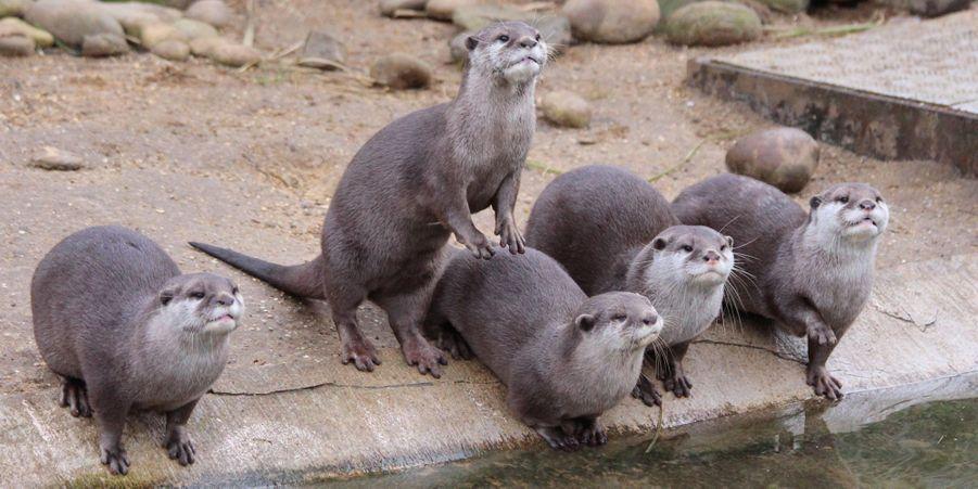Les loutres à l'affût des cadeaux au zoo de Whipsnade