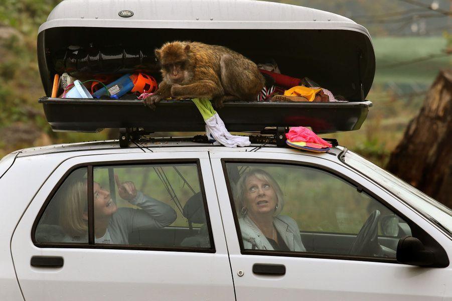 Les macaques voleurs vident le coffre de toit des visiteuses du zoo