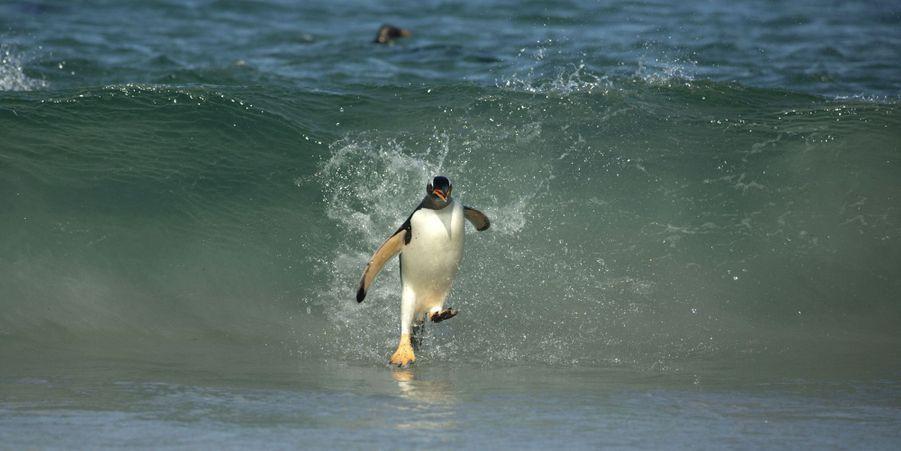 Ces manchots surfent les vagues des îles Malouines